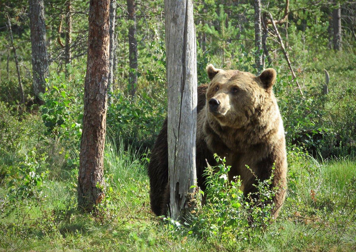 Poziția A.G.V.P.S. privind situația creată de urși
